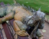Iguana em um banco #1 Foto de Stock Royalty Free