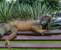 Iguana em um banco #2 Imagens de Stock Royalty Free
