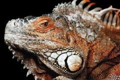 Iguana em um fundo preto Imagens de Stock Royalty Free