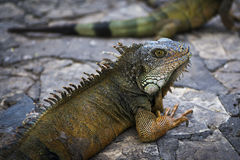 Iguana em um parque em Guayaquil em Equador imagem de stock