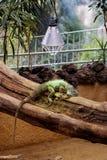 Iguana em uma filial de árvore Fotografia de Stock Royalty Free