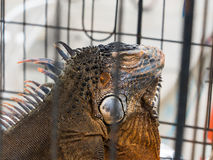 Iguana em uma gaiola fotos de stock