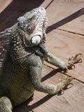 Iguana em uma plataforma fotos de stock