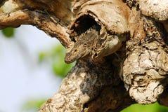 Iguana en árbol Foto de archivo libre de regalías