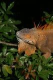 Iguana en árbol Fotos de archivo