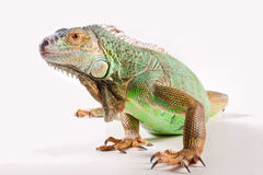 Iguana en blanco Fotografía de archivo libre de regalías