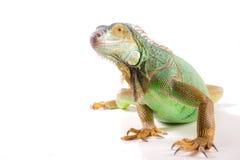 Iguana en blanco Imagenes de archivo