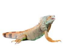 Iguana en blanco Fotos de archivo