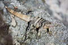 Iguana en Cancun Fotos de archivo libres de regalías