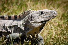 Iguana en Chichen Itza, México Foto de archivo libre de regalías
