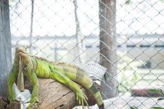 Iguana en el árbol Foto de archivo