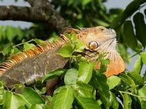 Iguana en el árbol en la naturaleza (iguana de la iguana) Imagenes de archivo