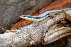 Iguana en el jardín fotografía de archivo libre de regalías
