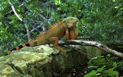 Iguana en el maya magnífico en México Imagenes de archivo