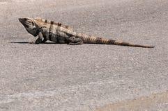 Iguana en el medio del camino en México Fotos de archivo libres de regalías