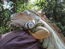 Iguana en el parque de Fort Lauderdale florida Fotos de archivo libres de regalías