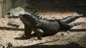 Iguana en el parque del parque zoológico de Dusit o de Wana del dinar de Khao en Bangkok, Tailandia almacen de metraje de vídeo