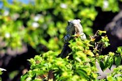 Iguana en el parque, la Florida Fotos de archivo
