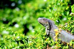 Iguana en el parque, la Florida del sur Foto de archivo libre de regalías
