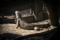 Iguana en el parque zoológico de Dusit en Bangkok , Tailandia imágenes de archivo libres de regalías