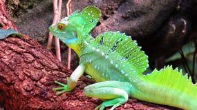 Iguana en el parque zoológico de Francfort Imagenes de archivo