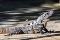 Iguana en el salvaje Ennegrezca la iguana espinoso-atada, la iguana negra, o el ctenosaur negro Similis de Ctenosaura Maya de Riv fotos de archivo libres de regalías
