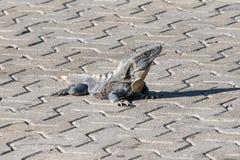 Iguana en el salvaje Ennegrezca la iguana espinoso-atada, la iguana negra, o el ctenosaur negro Similis de Ctenosaura Maya de Riv Fotografía de archivo libre de regalías
