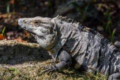 Iguana en el salvaje, primer Ennegrezca la iguana espinoso-atada, la iguana negra, o el ctenosaur negro selva tropical en México imagen de archivo