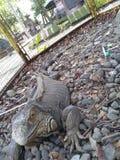 iguana en el tasikmadu del sondokoro del parque zoológico a solas Fotos de archivo libres de regalías