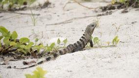 Iguana en la arena blanca Imagenes de archivo