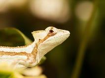 Iguana en la hoja - serratus de Serated Caquehesd de Laemanctus Imagenes de archivo