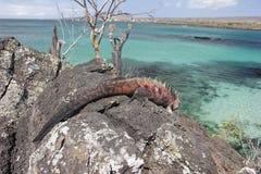 Iguana en la isla de Floriana fotos de archivo