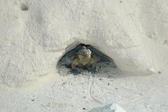 iguana en la isla de la iguana foto de archivo libre de regalías