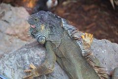 Iguana en la piedra Imagenes de archivo