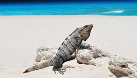 Iguana en la playa fotos de archivo