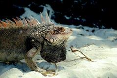 Iguana en la playa Fotos de archivo libres de regalías