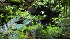 Iguana en la selva salvaje verde del Amazonas metrajes