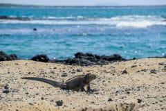 Iguana en las Islas Gal3apagos Fotografía de archivo libre de regalías
