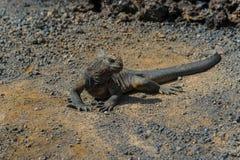 Iguana en las Islas Gal3apagos Imagen de archivo
