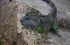 Iguana en las rocas foto de archivo