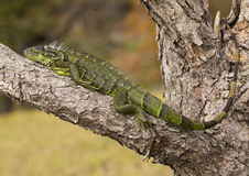 Iguana en los humedales de Wakodahatchee Foto de archivo