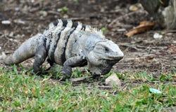 Iguana en México Fotos de archivo