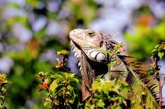Iguana en parque en la Florida Foto de archivo libre de regalías