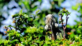 Iguana en parque en la Florida del sur Fotografía de archivo