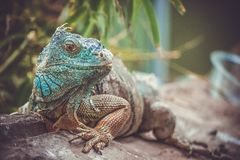 iguana en parque zoológico foto de archivo