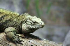 Iguana en registro Imagen de archivo