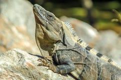 Iguana en The Sun Imagenes de archivo