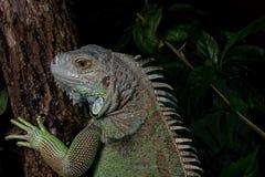 Iguana en un árbol que se arrastra y que presenta Imagen de archivo