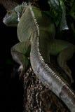 Iguana en un árbol que se arrastra y que presenta Imagen de archivo libre de regalías