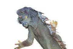 Iguana en un fondo blanco Fotos de archivo libres de regalías